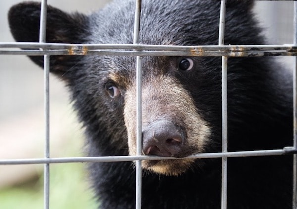 sad black bear cub behind metal enclosure